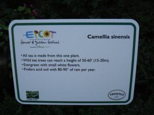 Camellia Sinensis Info