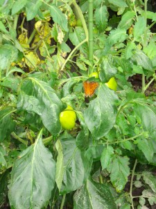 Butterfly in the Pepper Plants