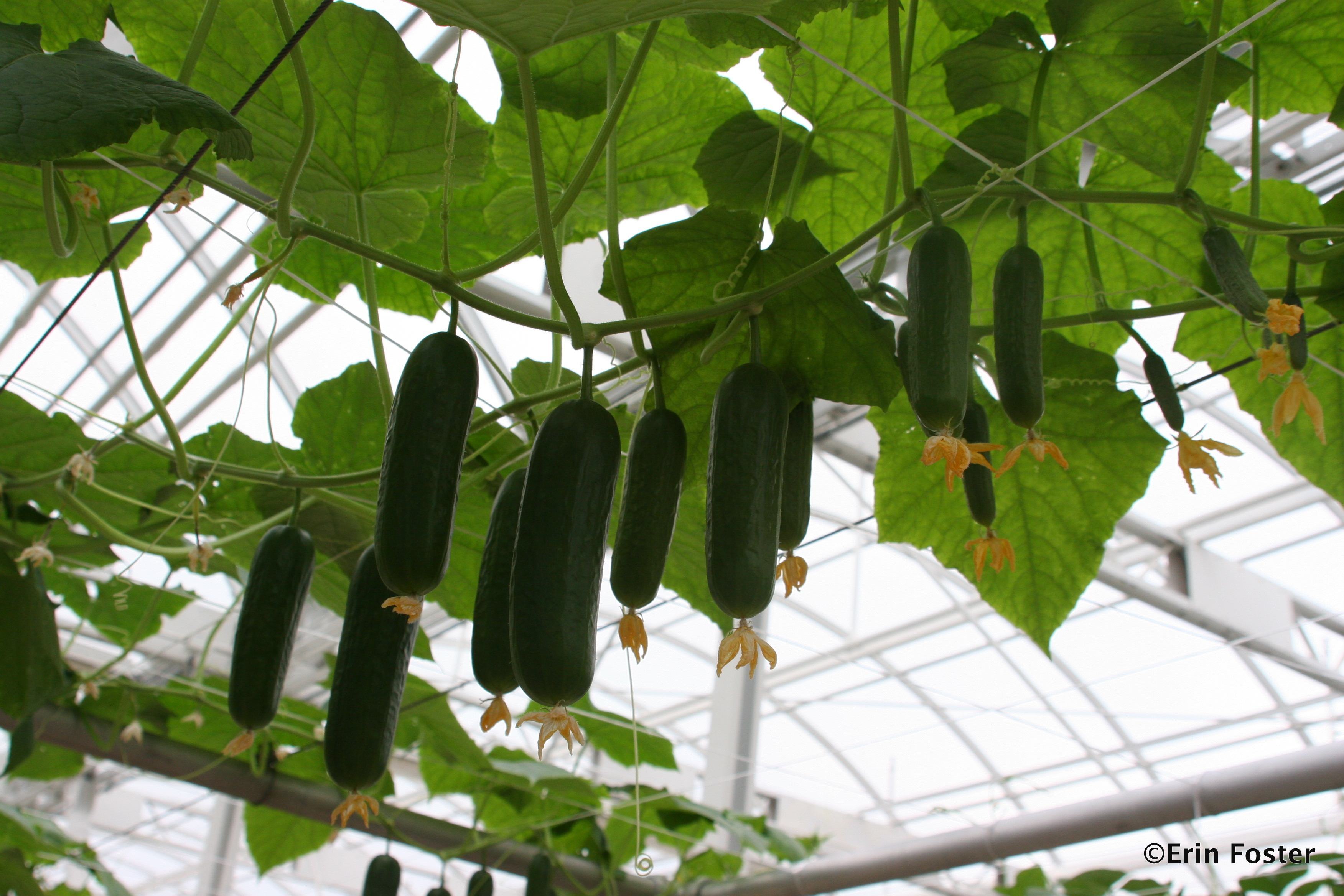 Growing Cucumbers At The Land