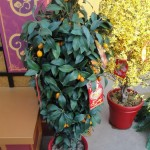 Kumquat Tree Adorned with Traditional Red Envelopes