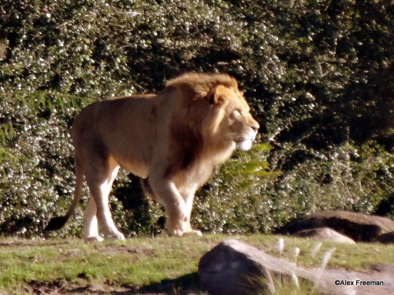 C Lion Review Guest Review: W...