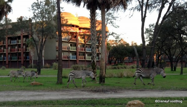 Zebras at Kidani Village
