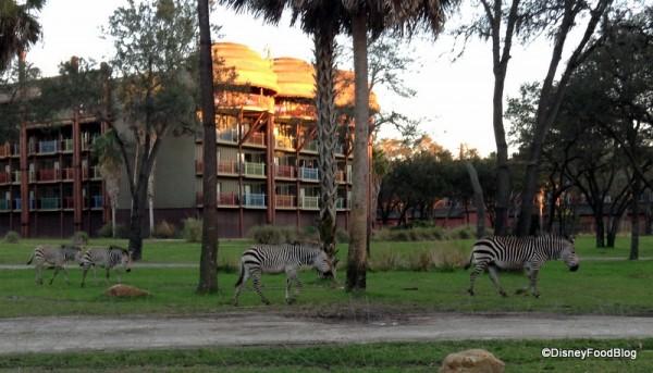 Zebras at Kidani Village