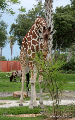 Animal Kingdom Lodge kidani savanna (1)