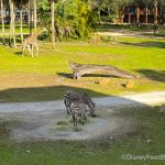 What's New at Disney's Animal Kingdom Lodge: The Mara Reopens and a Holiday Sale!